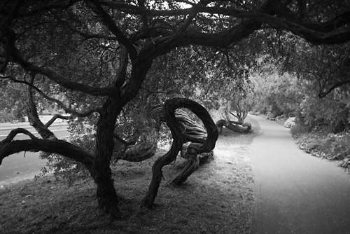 Gnarled in Golden Gate Park