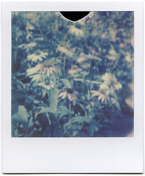 Flowers taken on The Impossible Project's Color Shade film on a Polaroid SX-70