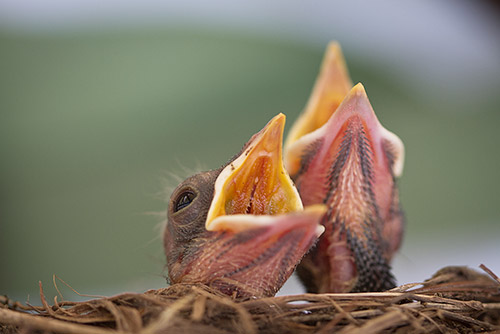 Baby robin chicks at two days old